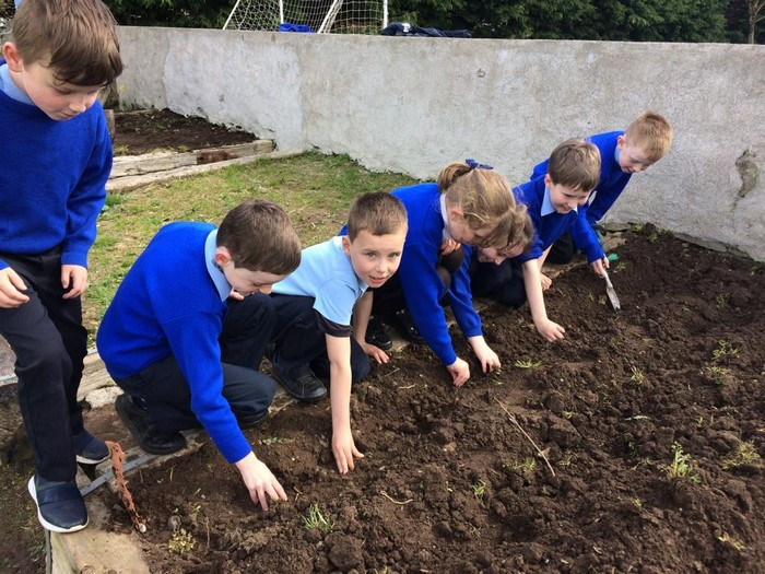 Sowing potatoes!