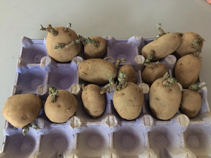 In 2nd Class we left the seed potatoes on the widdow sill. this is called 'chitting'